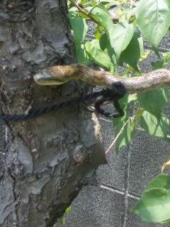 梅の木に蛇